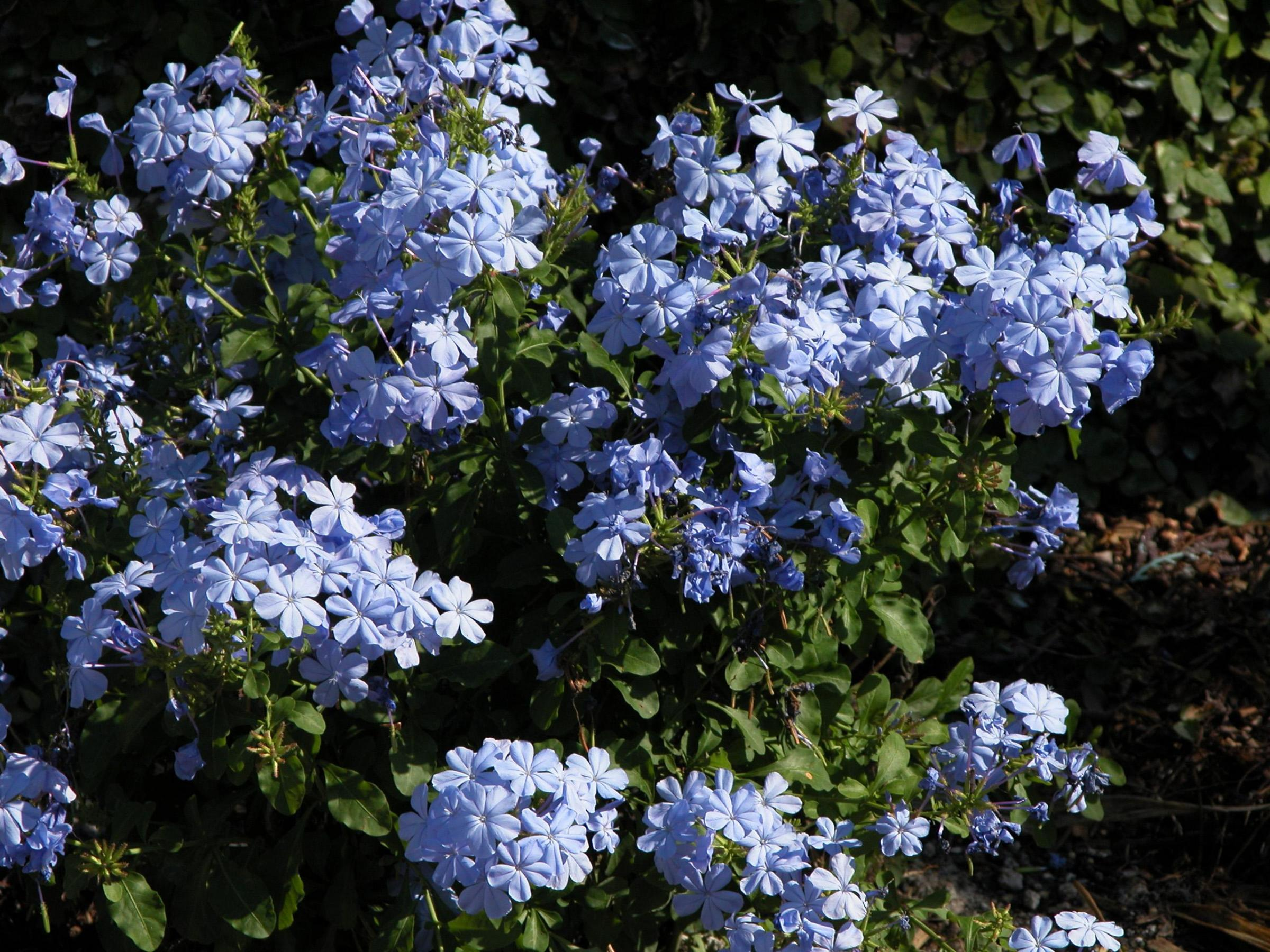plumbago definition what is